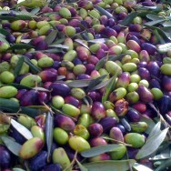 Fresh picked olives used to make Famiglia Creanza extra virgin olive oil.