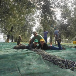 Harvest time at the Creanza olive orchard.